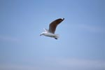 Hartlaub´s gull flies to the sea