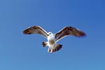 Flying young Kelb gull