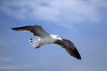 Flying young Kelp gull (Larus dominicanus)