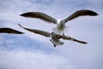 Kelp gulls in front of white clouds