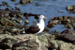 Kelp gull on a rocky beach