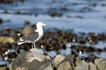 Kelp gull on rocky coast