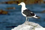 Kelp gull on the lookout