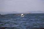 Kelp gull glides over the sea