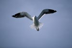 Flying Kelp gull (Larus dominicanus)
