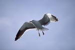 Flying Kelp gull