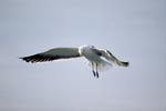Flying Kelp gull has discovered fish remains