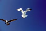 Kelp gulls in Landing Approach