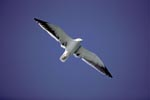 Kelp gull with extended wings