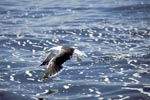 Kelp gull over troubled sea