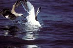 Kelp gulls fight for fish prey