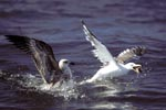 Kelp gulls fight for fish remains