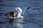 Kelp gulls fighting for fish remains