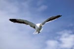 Kelb gull over the wide sea