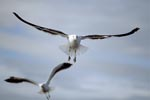 Flying Kelp gulls