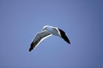 Kelb gull in flight