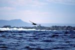 Subantarctic Skua over the waves
