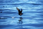 Subantarctic Skua starts on the water
