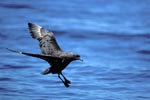 Subantarctic Skua lands on water