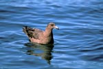 Subantarctic Skua on the sea