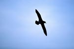 Flying White chinned Petrel