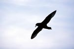 White chinned Petrel in the sky in front of Dyer Island