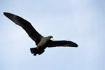 White chinned Petrel in flight