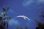 Flying Red-tailed tropicbird