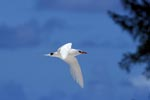 Red-tailed tropicbird bird returns on land