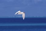 Red-tailed tropicbird over the sea