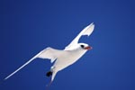 Red-tailed tropicbird on the midway sky