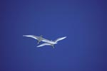 Flying Red-tailed tropicbirds