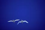 flying-red-tailed-tropicbirds