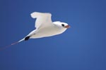 Red-tailed tropicbird in flight