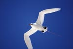 Red-tailed Tropicbird on the deep blue midway sky