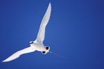 Flight artist Red-tailed Tropicbird