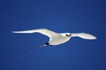 Red-tailed Tropicbird in the gliding flight