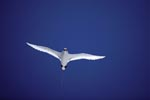Red-tailed tropicbird on the lookout over the sea