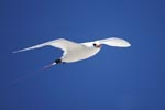 Red-tailed tropicbird above the sea