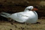 Breeding Red-tailed Tropicbird on the ground