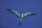 Flying Sooty Tern with wings spread