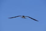 Sooty Tern glides over the sea