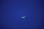 Sooty Tern on the way in the big blue