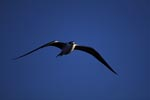 Flying Sooty Tern off Spit Island