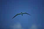 Flying Sooty Tern