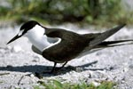 Sooty Tern on hard ground
