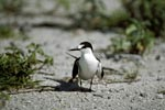 Sooty Tern on former runway