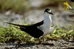Sooty Tern on the ground