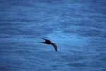 Brown Noddy over the sea