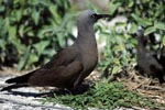Brown Noddy on the ground